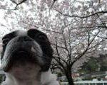 お出掛けで、またまた桜。